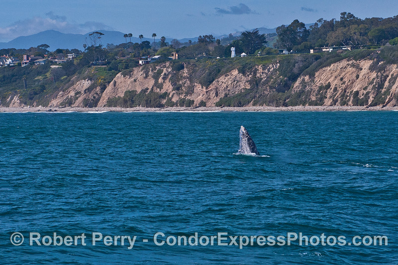 Image 1 of 2:   A gray whale breach near the Santa Barbara Point light tower.