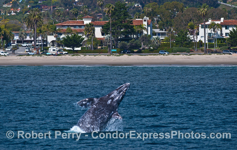 Image 2 of 4:  A gray whale breach at East Beach Santa Barbara.