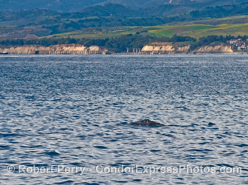 Gray whale heading west near Elwood oil pier.