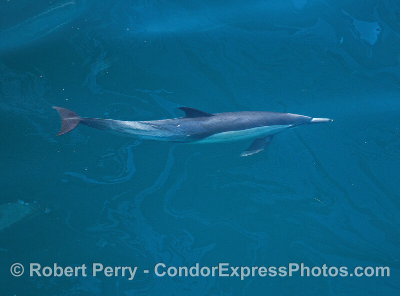 Long-beaked common dolphin under an oily surface.