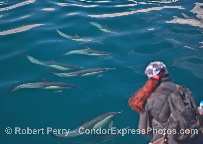 Long-beaked common dolphins swarm the Condor and their fan club.