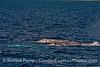 Eschrichtius robustus THREE 2015 03-03 SB Coast-185