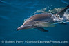Close look at a long-beaked common dolphin.