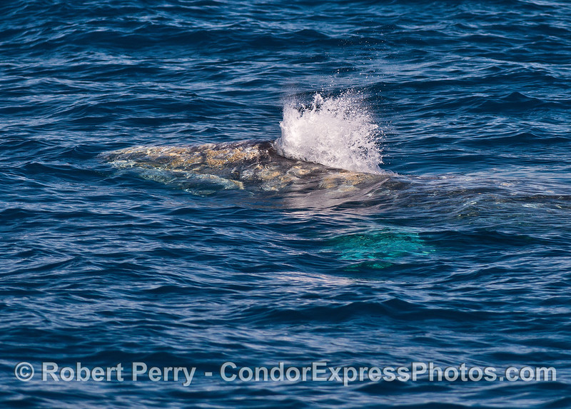 Head, spout and pectoral fin (under water) - a gray whale.