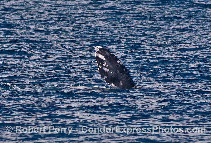 Image 2 of 4:  gray whales rolling around and socializing.
