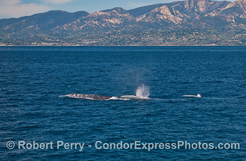 A trio of northbound gray whales are captured with the Santa Barbara coast in the background.