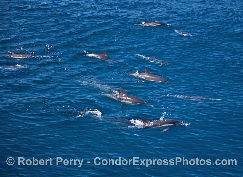 Part of a larger herd of common dolphins.