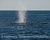 Back lighting on the very tall spout of a humpback whale.