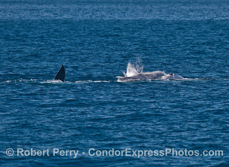 Image 3 of 4:  gray whales rolling around and socializing.