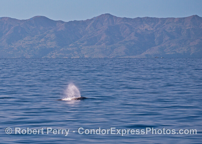 Gray whale with Santa Cruz Island in back.