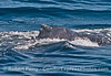 """Tip of the dorsal fin - """"Top Notch"""" the humpback whale."""