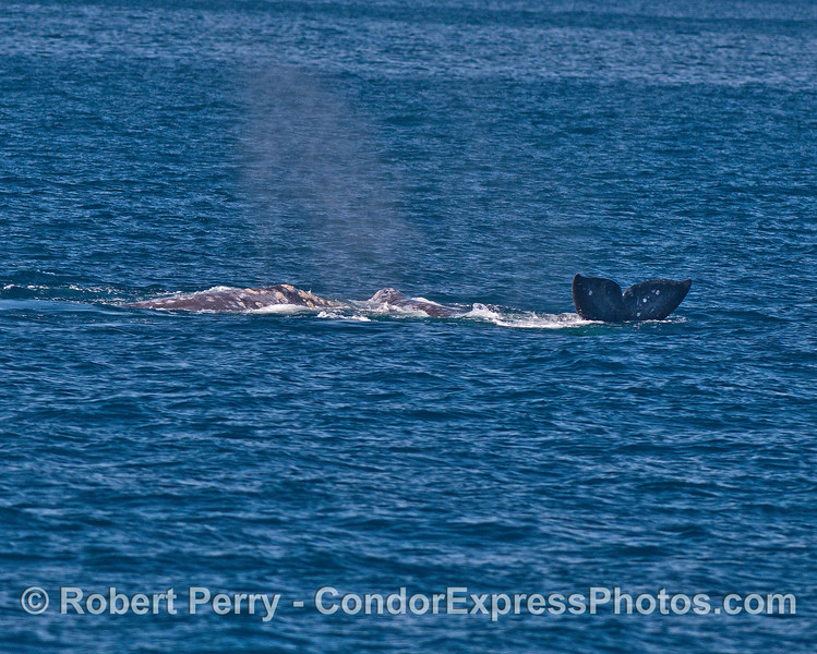 Image 4 of 4:  gray whales rolling around and socializing.