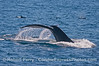 Humpback whale tail flukes and several long-beaked common dolphins.