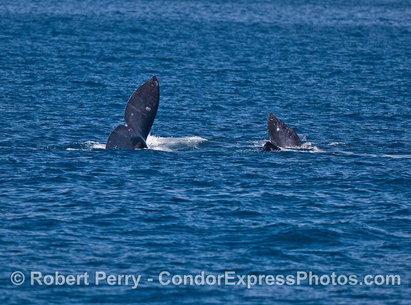 Image 1 of 4:  gray whales rolling around and socializing.