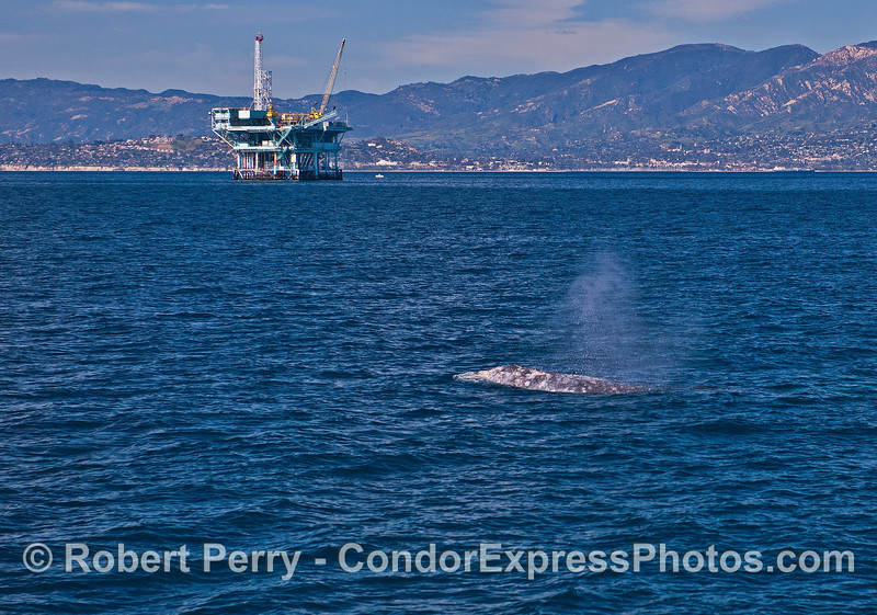 A gray whale with offshore oil Platform Hillhouse and the Santa Barbara coastline  in the background.