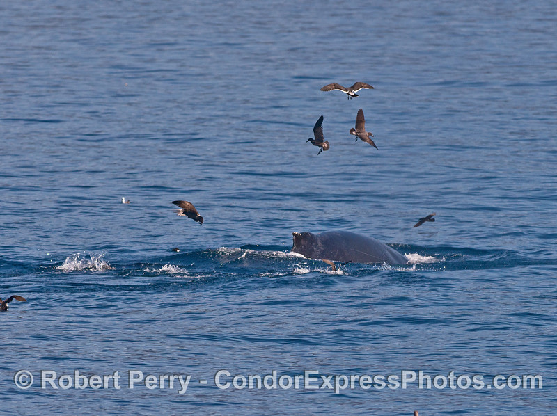 Gulls circle around a humpback whale.