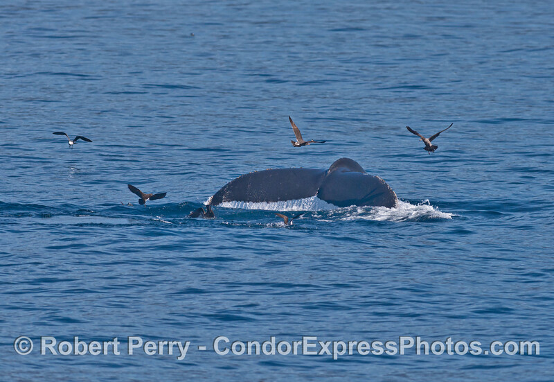 Humpback tail and sea birds.