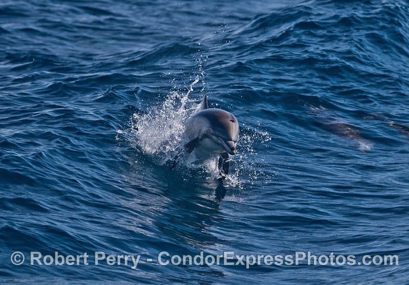Leaping long-beaked common dolphin.