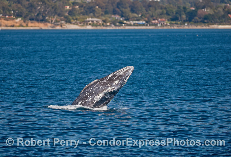 Image 4 of 5:  A gray whale breaches very close to the beach