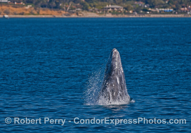 Image 1 of 5:  A gray whale breaches very close to the beach.