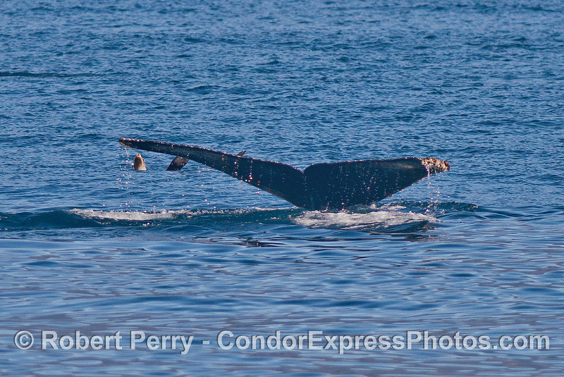 Image 4 of 5:  a fearless California sea lion relaxes on the surface and is not phased by the approach and dive of a giant humpback whale.  Sea lions are the best!