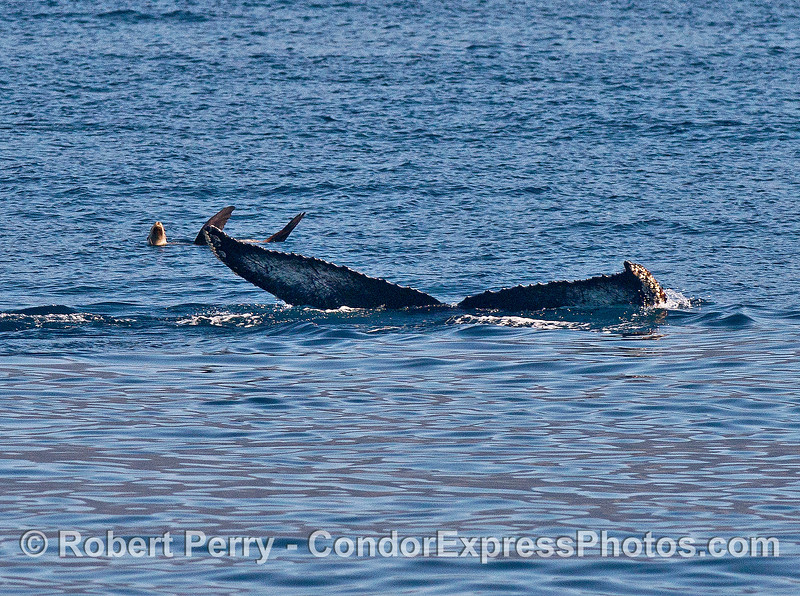 Image 5 of 5:  a fearless California sea lion relaxes on the surface and is not phased by the approach and dive of a giant humpback whale.  Sea lions are the best!