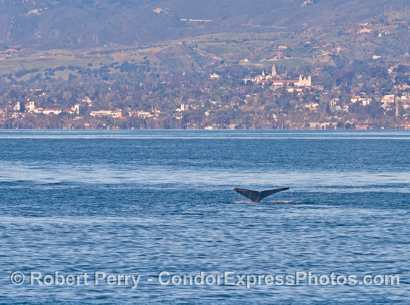 The hills of Santa Barbara and a humpback whale tail.