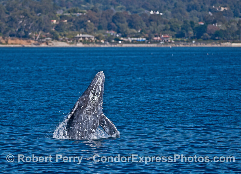 Image 2 of 5:  A gray whale breaches very close to the beach