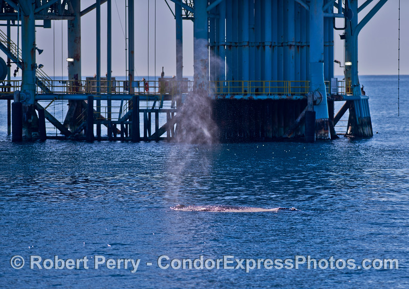 A giant offshore oil platform in the Santa Barbara Channel forms a dramatic backdrop for a spouting humpback whale.