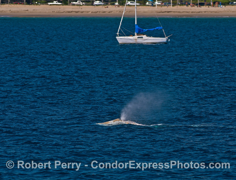 A northbound migrating gray whale passes through the East Beach boat anchorage in Santa Barbara.