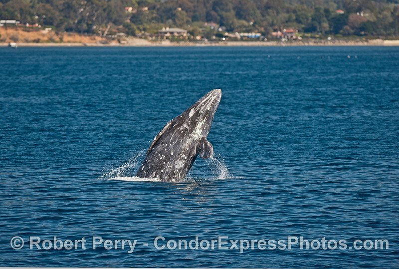 Image 3 of 5:  A gray whale breaches very close to the beach