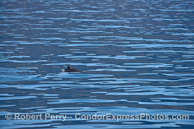 A lone common dolphin on a glassy ocean surface.