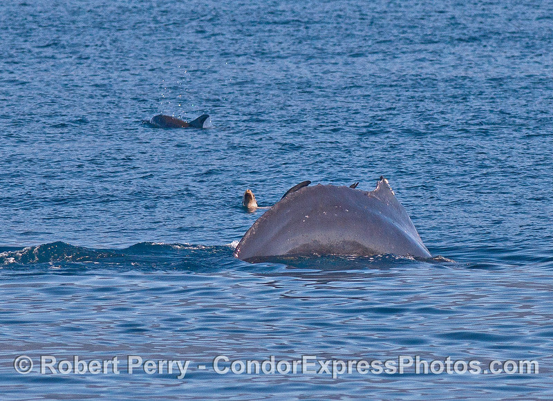 Image 2 of 5:  a fearless California sea lion relaxes on the surface and is not phased by the approach and dive of a giant humpback whale.  Sea lions are the best!  A common dolphin swims nearby.