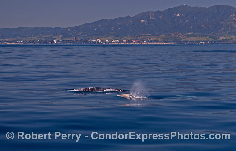 Three northbound gray whales;  two up, one down.   UCSB is in the background.