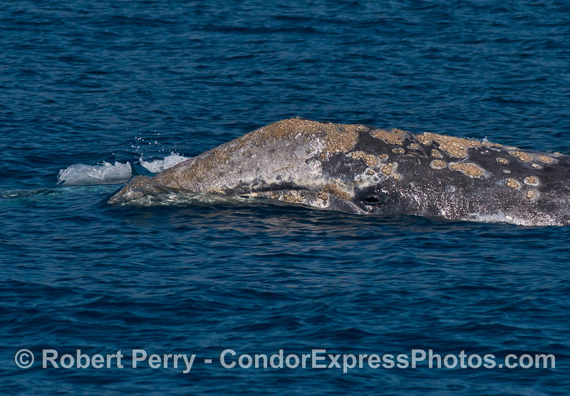 Image 1 of 2:  The beast takes a look at the camera:   a very close look at the head and eye of a gray whale.