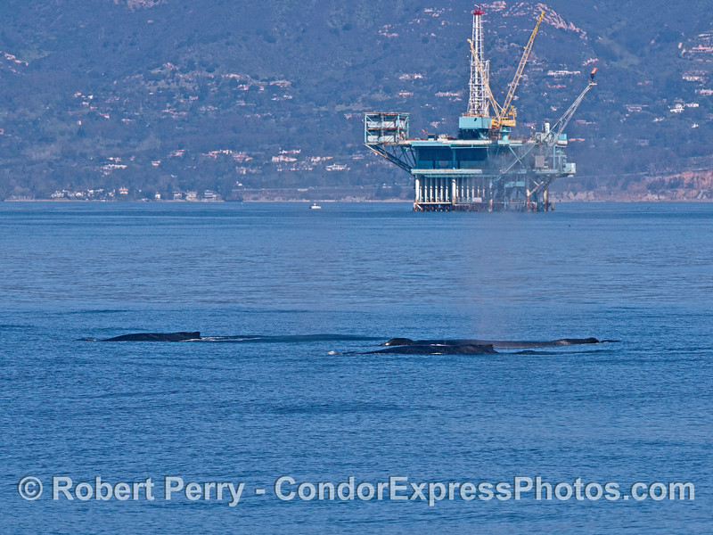 Three humpback whales, an offshore oil platform, and the Summerland coast.