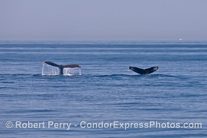 Twin humpback whales fluke-up simultaneously.