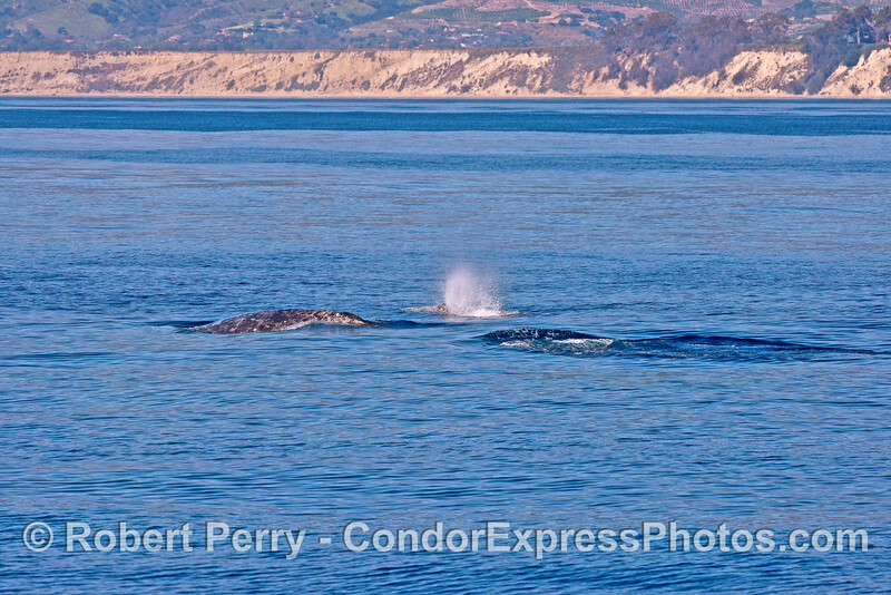 A trio of migrating gray whales.