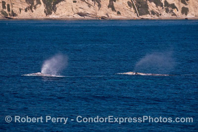 Two gray whales head north along the bluffs of Santa Barbara.