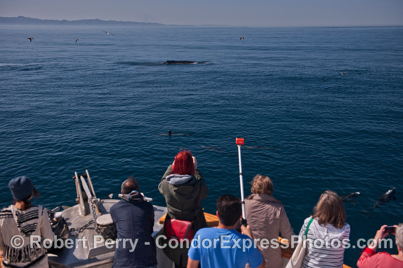 Humpback whale fan club ( with lots of common dolphins too).
