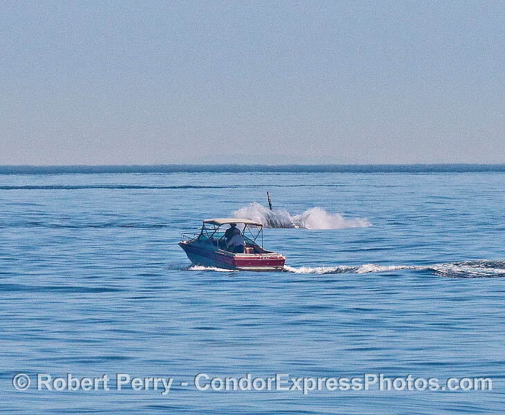 Image 4 of 4:   Image your surprise. You were noodling along in your runabout on a beautiful day in the Santa Barbara Channel. Out of no where, a monster gray whale gets airborne and breaches right in front of your boat. No time for a selfie, so no one will believe your tale.