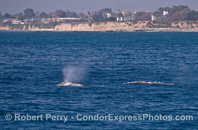Three gray whales (including one underwater) with Isla Vista in back.