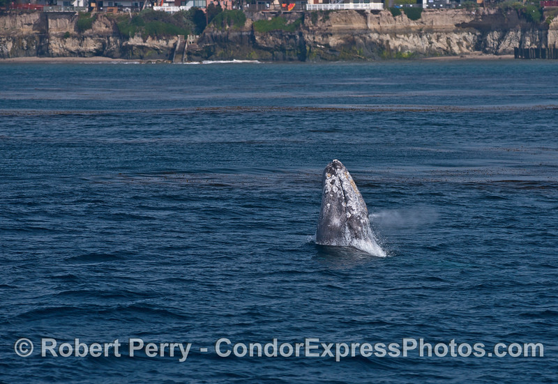 Image 2 of 4 in a row:   Gray whale breach with sea cliffs of Isla Vista in back.