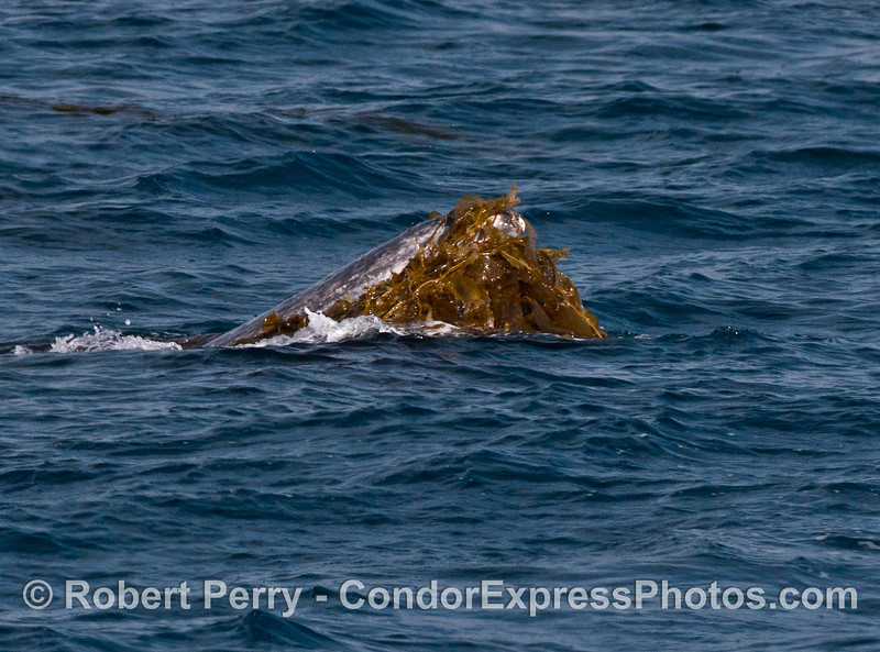 Image 2 of 2:  Gray whale kelping.  Whales and dolpins and humans love their kelp.