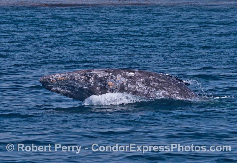 Gray whale breaching - Head and body upright, left lateral aspect.