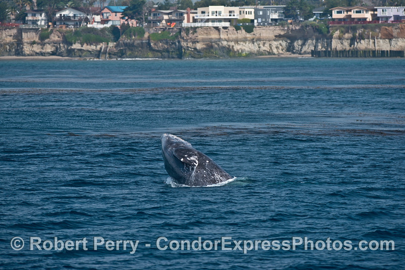 Image 4 of 4 in a row:   Gray whale breach with sea cliffs of Isla Vista in back.