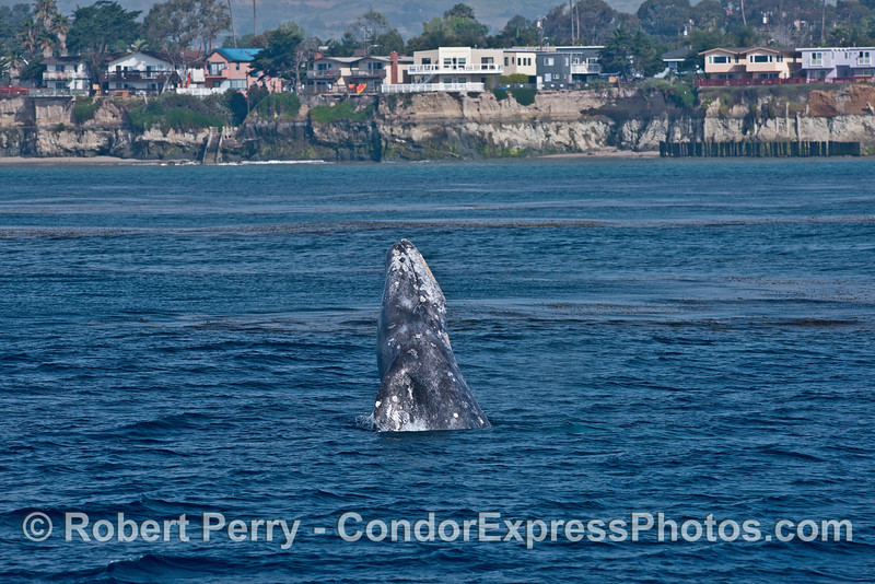 Image 3 of 4 in a row:   Gray whale breach with sea cliffs of Isla Vista in back.