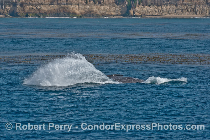 Image 3 of 3:  Gray whale breach sequence - near the beach and kelp beds.