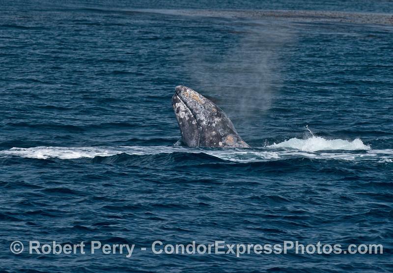 Gray whale spy hop.