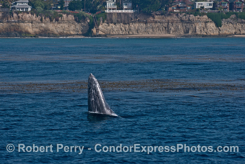 Image 1 of 3:  Gray whale breach sequence - near the beach and kelp beds.